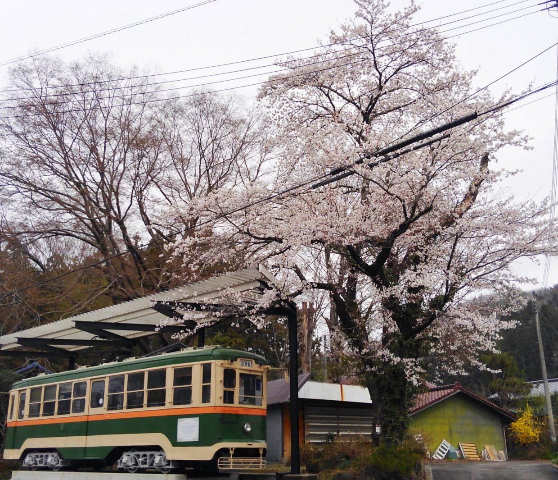 2018年4月7日土曜日朝9時の桜状況です。