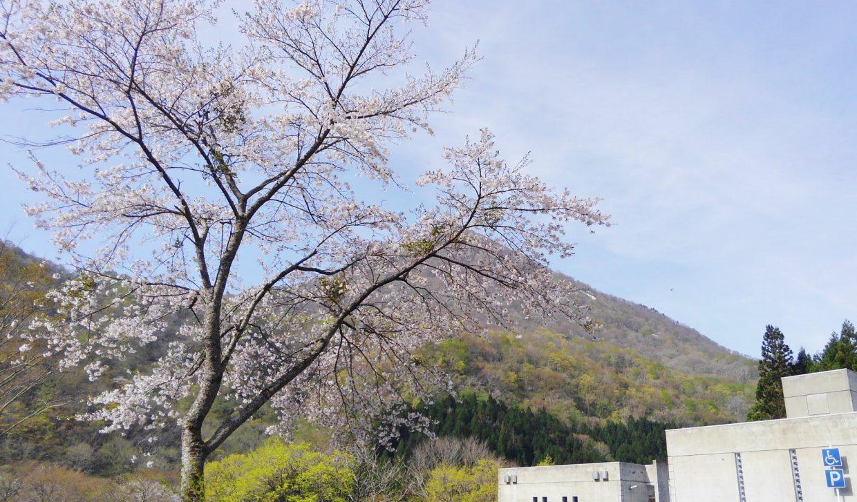 秋保ビジターセンター前の桜が満開です。