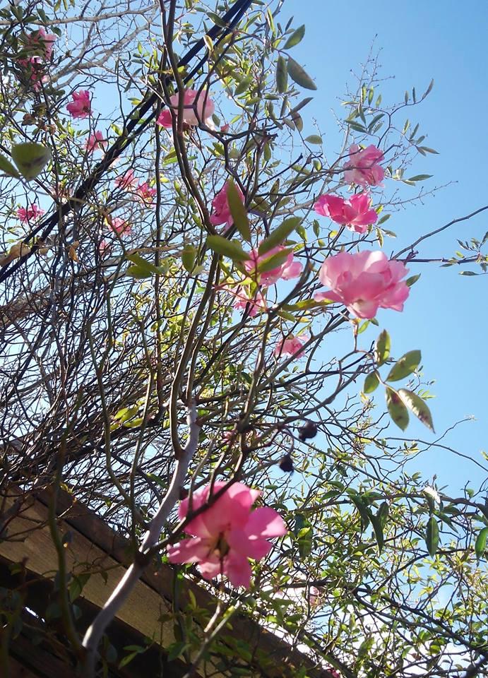 季節はずれに薔薇が咲いています